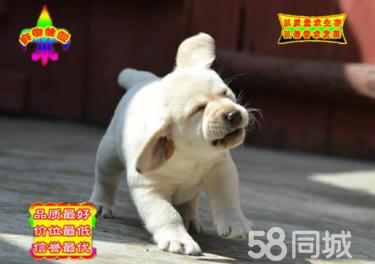 出售純種拉布拉多 黑色黃色咖啡色拉多幼犬可挑選