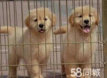 纯种金毛丨专业繁殖丨正规狗场丨纯种健康丨签署协议