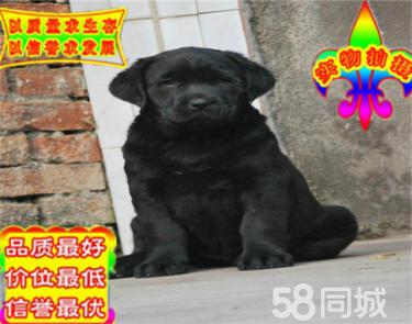 出售純種拉布拉多幼犬 賽級品質 健康保障 疫苗齊全