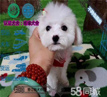 出售纯种玩具泰迪幼犬 做疫苗和驱虫 包健康品质