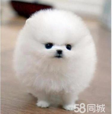 博美犬 适合当伴侣犬 小巧可爱 可视频
