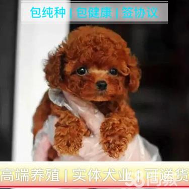 【泰迪幼犬】价格合理、疫苗做好、常年营业、现场可选