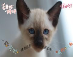 純種暹羅貓高品質找新家 疫苗內外齊全 純種健康