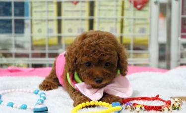 可以开视频看犬舍泰迪种犬 幼犬双血统包健康