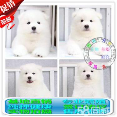 出售家纯种澳版萨摩耶、萨摩耶犬、签协议包纯种健康
