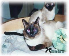 暹罗猫 健康纯种 品质保证