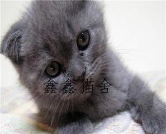 本地家養折耳藍貓 折耳藍白 折耳美短 折耳銀漸層