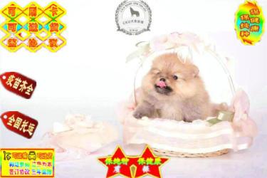 金沙官方平台纯种健康活泼博美犬多种颜色签订终身质保协议