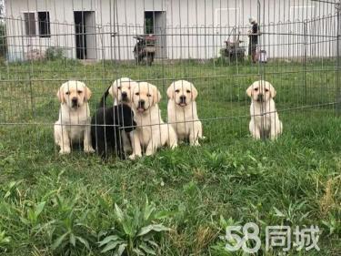 出售家养精品单血统拉布拉多幼犬