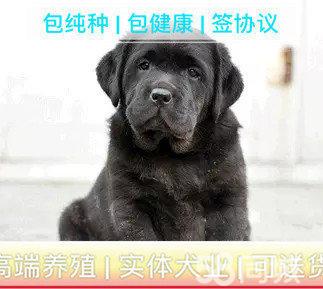专业繁殖(拉布拉多幼犬)可来基地挑选。签协议保健康