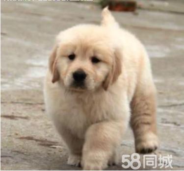 【超级实惠】【金毛幼犬】【常年营业】【信赖的选择】