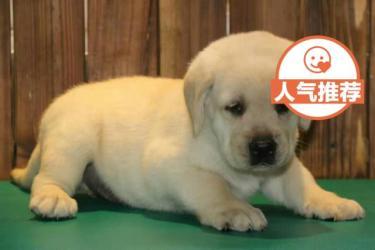 纯种拉布拉多公母幼犬 品质高血统纯聪明可爱
