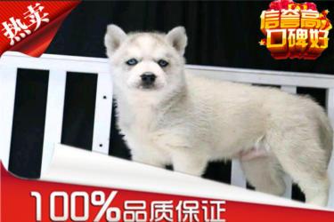 【精品哈士奇-犬舍繁殖】健康百分百【品种多】送用品