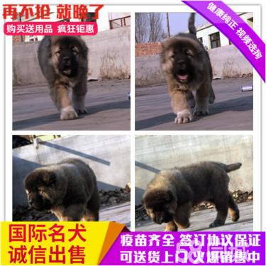 出售高品質賽級直系一熊版高加索幼犬購買簽協議保健康