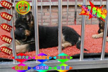 纯种警用德国牧羊犬,黑背,锤系德牧,终身保障签协议