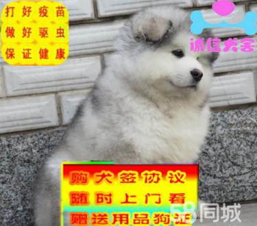 出售純種十字臉阿拉斯加幼犬 可愛健康質保