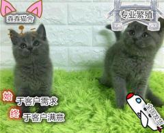 MiuMiu家庭貓舍繁育包子臉藍貓 保健康 可上門