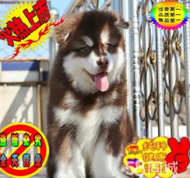 出售双血统熊版阿拉斯加幼犬 骨骼大品质保证 签协议