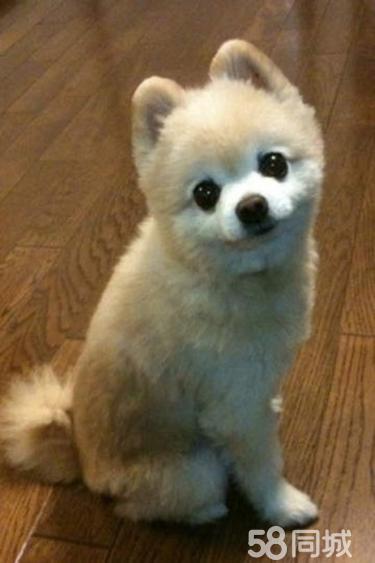 出售纯种博美幼犬袖珍犬 保证纯种健康