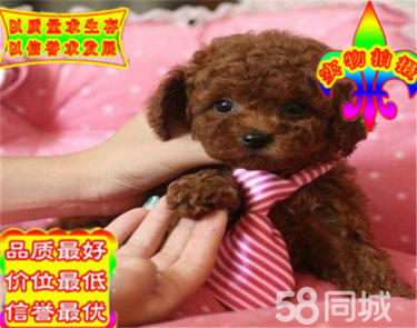 純種韓系泰迪熊 茶杯、玩具 可愛包健康 可送貨