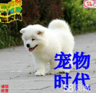 高品质双血 萨摩幼犬,大骨量,随时可以看狗可送货