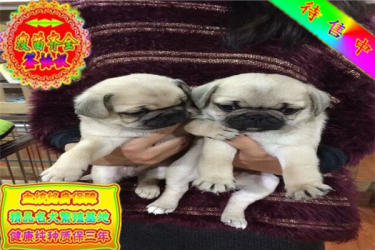 长期繁殖纯萌萌哒巴哥犬各类纯种名犬包养活签协议