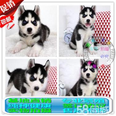 純種西伯利亞哈士奇幼犬雙藍眼三把火哈士奇雪橇犬