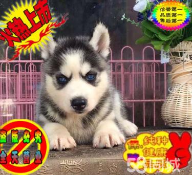 纯种蓝宝石眼睛三把亮火哈士奇幼犬 保健康签协议
