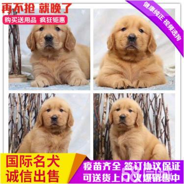 包純種包健康品質包終身大頭金毛犬寵物狗公母同價