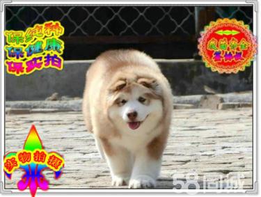 巨型熊版阿拉斯加幼犬 证书齐全血统纯正送用品签协议