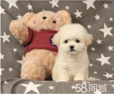 出售純種《比熊犬》《法國卷毛比熊犬》保證健康3個月
