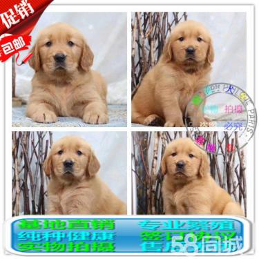 出售純種大頭金毛幼犬 健康有保障 可簽購犬協議可送