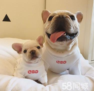 《养法斗宝宝梦开始的地方》专业繁殖犬舍 包健康