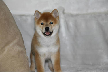 龙秋柴犬犬舍 出售小柴犬