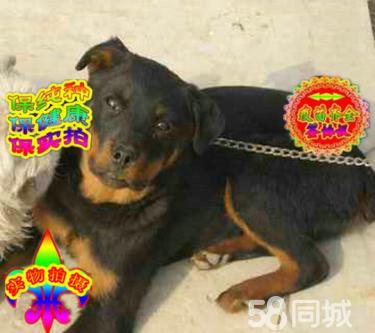 纯正顶级罗威那犬憨厚忠诚体格健壮专业标准疫苗齐全