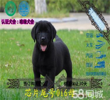 精品大骨量拉布拉多犬 神犬小七多只在售可挑选签协议