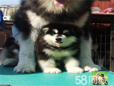 高品质 阿拉斯加 幼犬霸气十足绝对拉风健康保证 巨