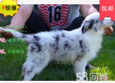 出售纯种边境牧羊犬七白到位的边牧包健康纯种疫苗已做