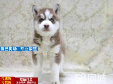 爱搞笑的小哈--淘气可爱、双蓝眼--三把火幼犬出售