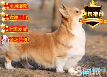 纯种顶级柯基犬短粗腿 三色柯基 两色柯基 通风围脖