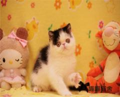 出售 波斯貓 波斯貓 波斯貓 重要的事情說三遍