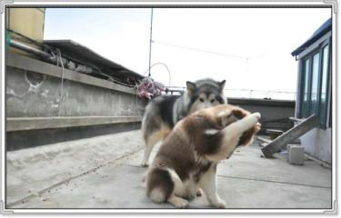 纯?#32844;?#25289;斯?#21451;?#27207;犬 巨型阿拉斯加幼犬