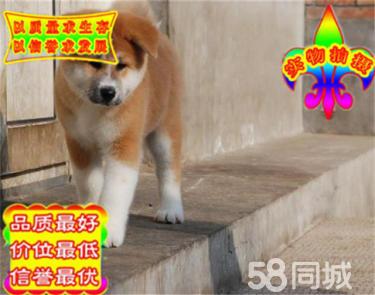 纯种日系秋田犬 疫苗做齐 包纯种包健康 质量保证