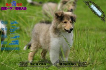 有血统芯片的纯种苏格兰牧羊幼犬品相好 可签协议