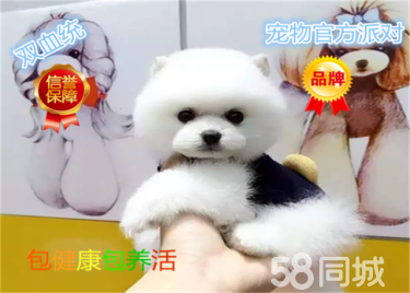 纯种赛级博美幼犬、包健?#36842;?#22330;检测、不纯全额?#19997;? width=