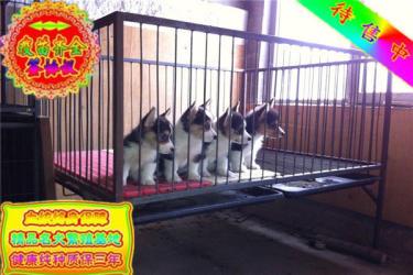 出售两色三色柯基犬幼犬 大型养殖基地 宠物狗活体