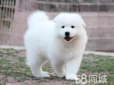 纯白萨摩耶 微笑天使萨摩耶 狗场直销 可送货