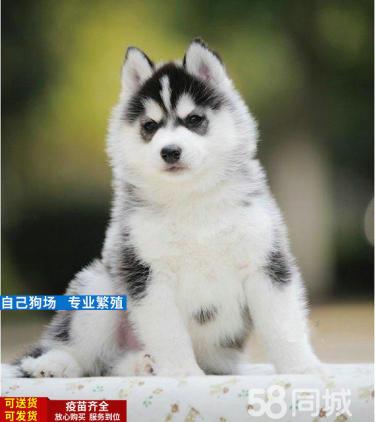 愛搞笑的小哈--淘氣可愛、雙藍眼--三把火幼犬出售