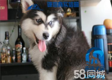 阿拉斯加雪橇犬,巨型熊版灰桃十字,包纯种健康养活