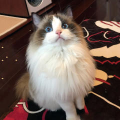 ※CFA 注册猫舍出售布偶猫仔DDMM都有 可上门